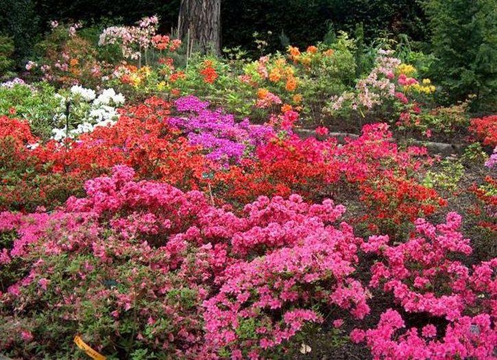 Und weitere blühende Rhododendrone...