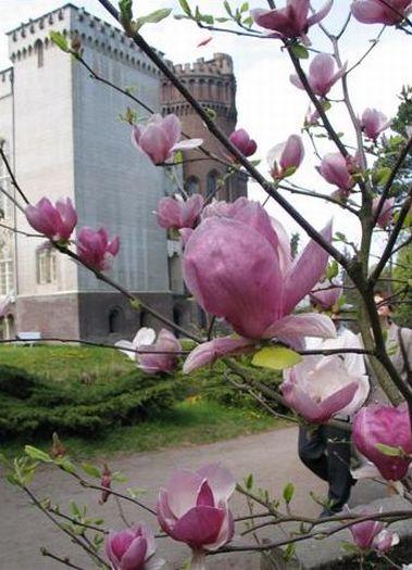 Arboretum w Kórniku - kwitnące magnolie