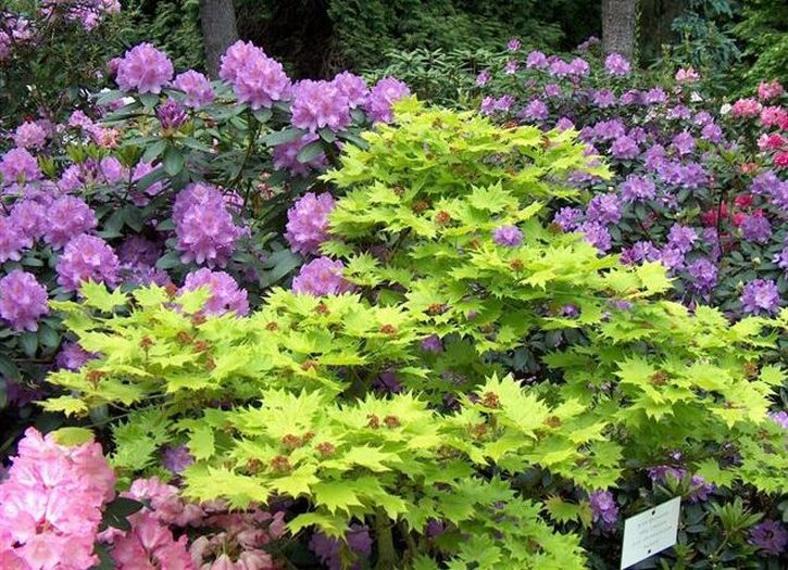 Arboretum w Kórniku - Kwitnące rododendrony