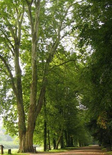 Arboretum w Kórniku - Aleja