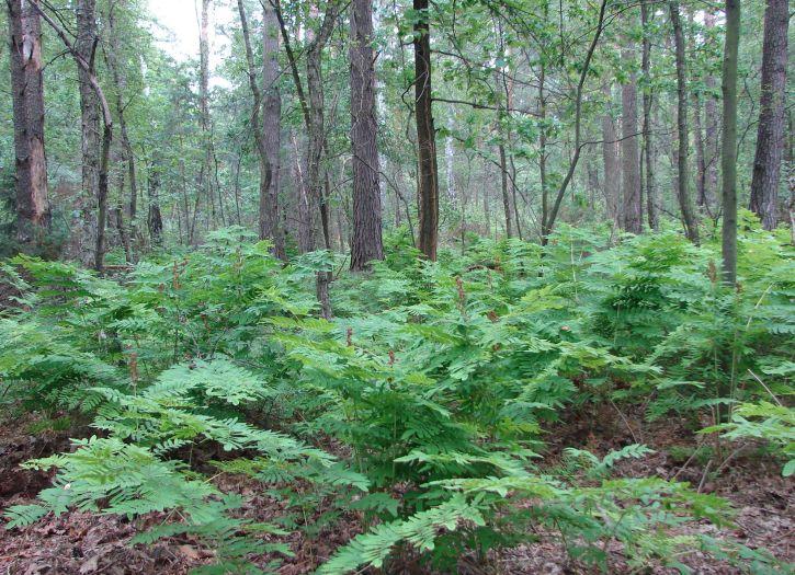 Paproć na ścieżce leśnej