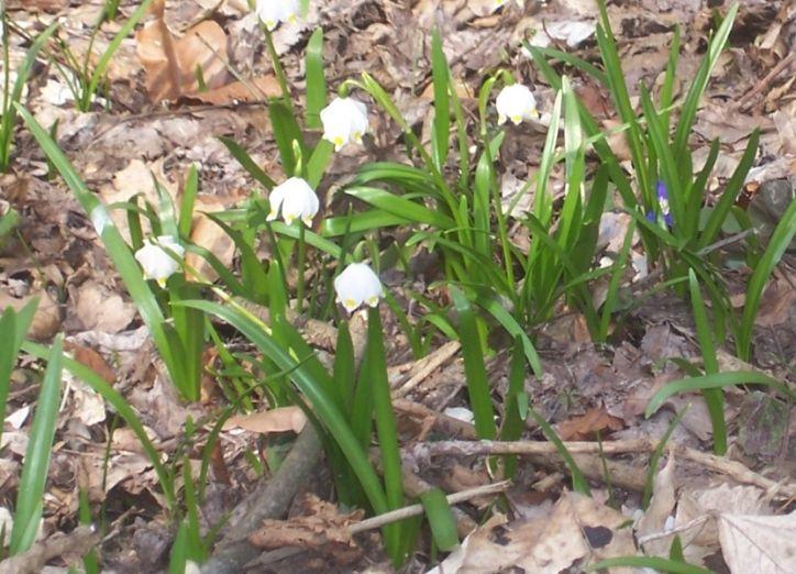 Kwitnące śnieżyce w rezerwacie Śnieżycowy Jar