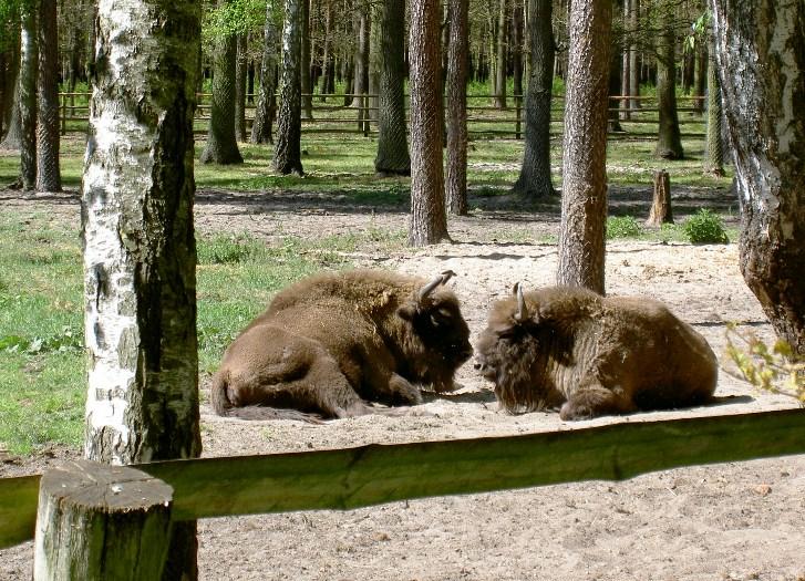 Żubry w leśnej zagrodzie w Gołuchowie